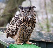 Ebbw Vale Owl Sanctuary by Gareth Cullen