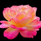 Pink & Yellow Rose by Sandy1949