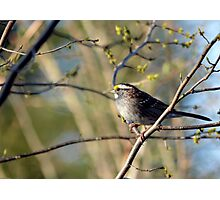Spring Is For Sparrows Photographic Print