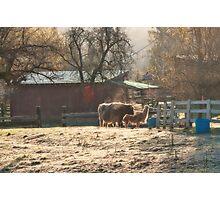 Morning Farmyard 2 Photographic Print