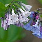 Virginia Bluebells Wildflowers - Mertensia virginica by MotherNature2