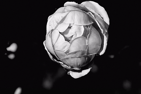 Roseball by Bob Wall