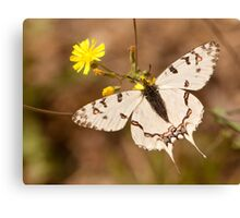 new born buttefly Canvas Print