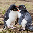 Rockhopper Penguin Love - Falkland Islands by DestnUnknown