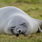 Sleepy Seal - South Georgia by DestnUnknown