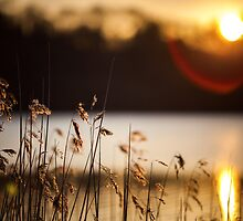 reeds in the sun by James Calvey