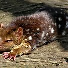 Baby spotted quoll by Alexey Dubrovin