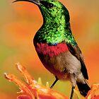 shimmering sunbird by AntonAlberts