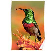 shimmering sunbird Poster