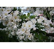 Apple tree branch in bloom Photographic Print