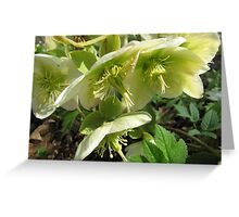 Christmas rose [Helleborus niger] Greeting Card