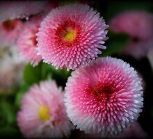 Daisy Marguerite  by karina5