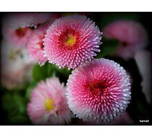 Daisy Marguerite  Photographic Print