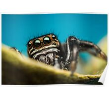 Evarcha arcuata male jumping spider photo Poster