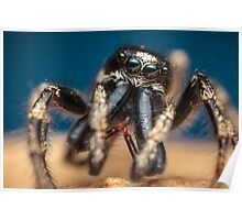 Salticus scenicus male jumping spider photo Poster