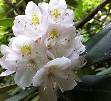 Mountain Laurel by Brad Myers