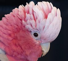 This Is Not My Cheeky Face Lol.. - Galah - NZ by AndreaEL