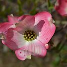 Flower from Dogwood Tree by JMG1883
