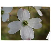 Flower from Dogwood Tree Poster