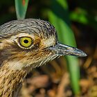 Stone-curlew by NickVerburgt