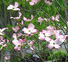 Pink Dogwood Blossoms by James Brotherton
