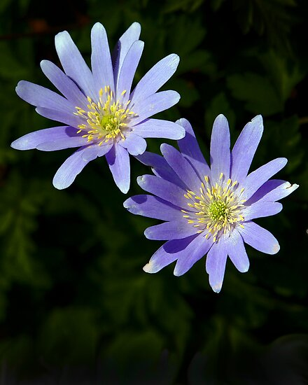 Two Windflowers by cclaude