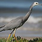 white face grey heron by parko