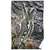 Eastern Screech Owl, in the middle of town Poster