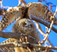 Big Stretch - Great Horned Owlet by JamesA1