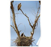 Red-tailed Hawks ~ Watchful eye Poster