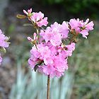 Rhododendron by JMG1883