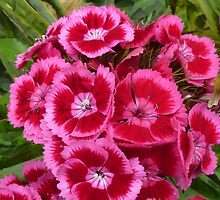 Sweet William has a Pink Eye by PictureNZ