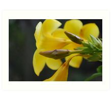 Yellow Oleander Art Print