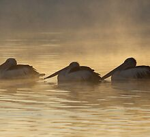 Huddled to Keep Warm  Pelicans  Canberra Australia  by Kym Bradley
