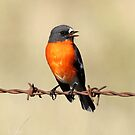 Singing for my supper   Male Flame Robin Canberra Australia  by Kym Bradley