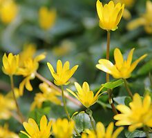 Dancing Buttercups by KUJO-Photo