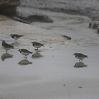 beach birds at Ann Bay (Tasmania) by gaylene