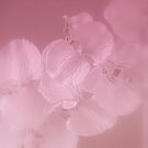 Orchid Mist by kkphoto1