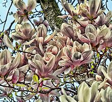 Magnolia blossoms by brijo
