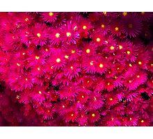 Breathtaking Mesembryanthemums Photographic Print