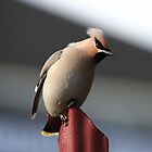 Waxwing by Maria Gaellman