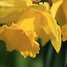 Daffodils by ellismorleyphto