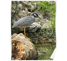 Yellow Crowned Night Heron Eating Poster