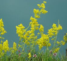yellow flowers by patrizia63