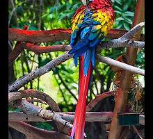 Scarlet Macaw by KeithBanse