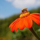 Bee on Orange Flower by lauracronin