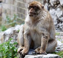 Barbary Macaques In Gibraltar by Keith Larby