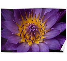 Portrait of a Water Lily Poster