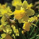 Jonquils in the Park by vigor
