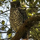 Owl at Irrawong Reserve  by Doug Cliff